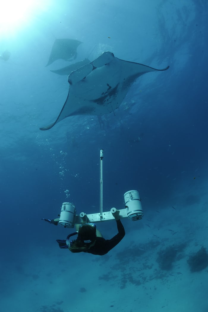 Researcher Using Stereo Camera to Measure Manta Rays, Hanifaru Bay, Baa Atoll, Maldives © Guy Stevens, Manta Trust 2012