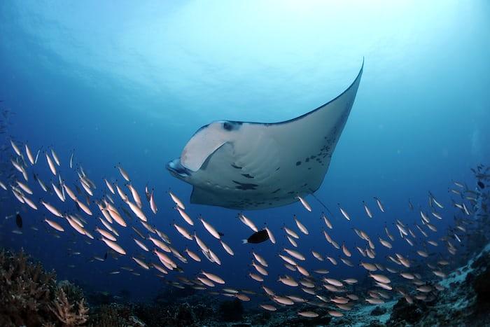 Reef Manta Ray, Manta alfredi, Dhiggaru Kandu, Ari Atoll, Maldives © Guy Stevens, Manta Trust 2015.JPG