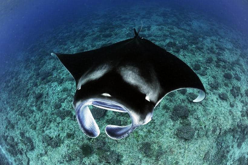 Reef Manta Ray, Manta alfredi, Feeding Over Reef, D'Arros Island, Amirantes, Seychelles © Guy Stevens, Manta Trust 2016.JPG