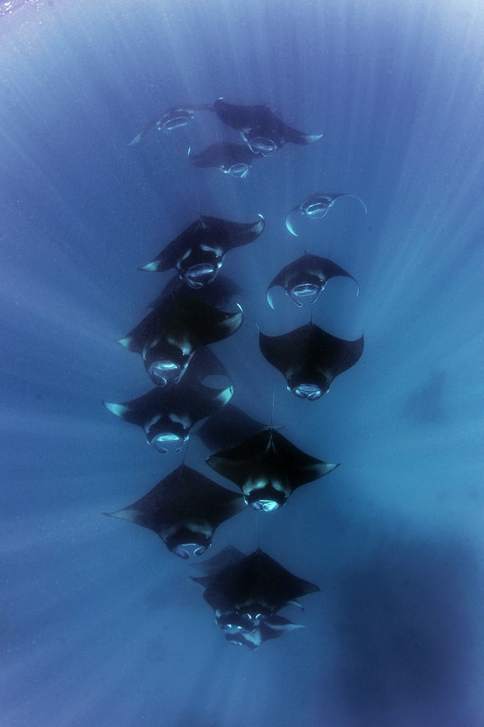 Reef Manta Ray, Manta alfredi, Hanifaru Bay, Baa Atoll, Maldives © Guy Stevens Manta Trust 2014